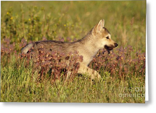 Gray Wolf Pup Greeting Card