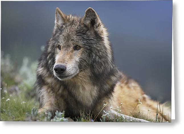 Gray Wolf Resting North America Greeting Card by Tim Fitzharris