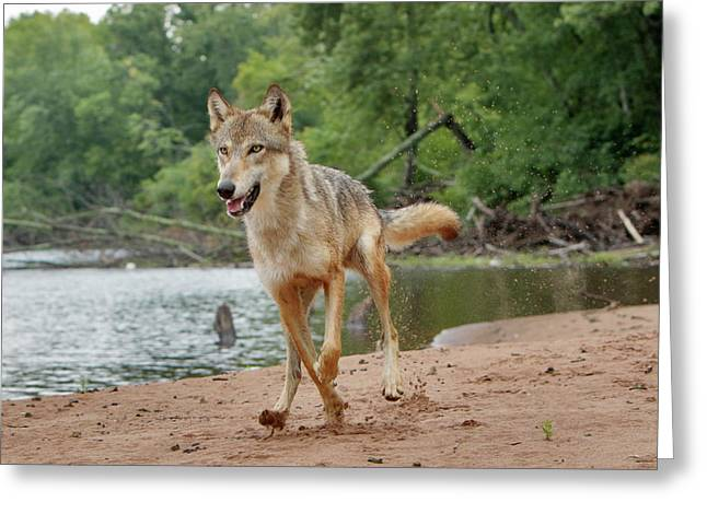 Gray Wolf Running, Canis Lupus Greeting Card