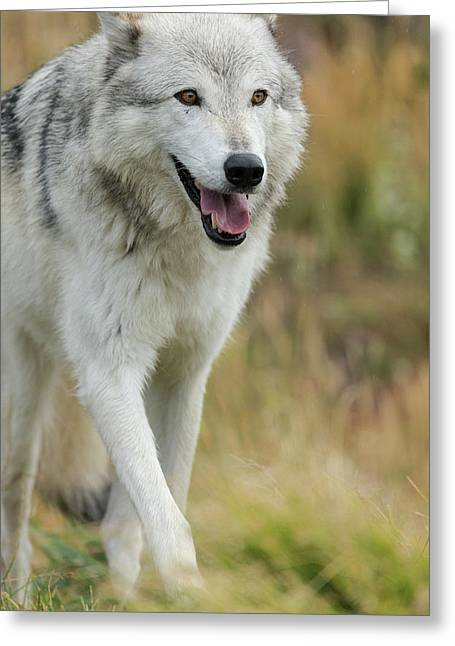 Gray Wolf Running In A Fall Drizzle Greeting Card