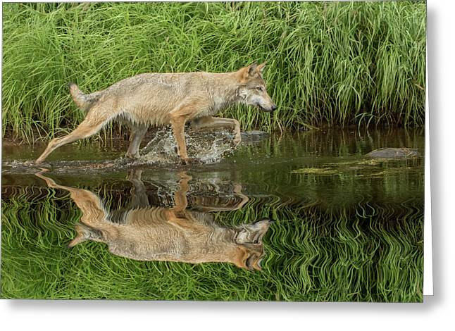 Gray Wolf Running Through Water, Canis Greeting Card
