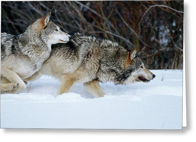 Gray Wolves (canis Lupis Greeting Card
