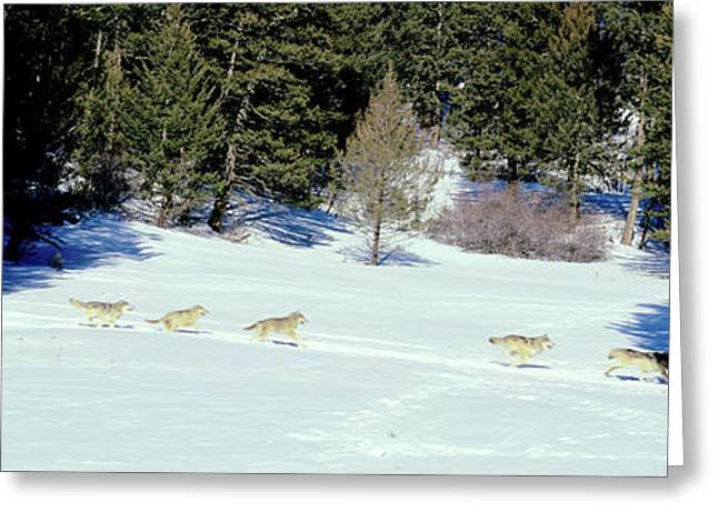 Gray Wolves Canis Lupus Running Greeting Card by Panoramic Images