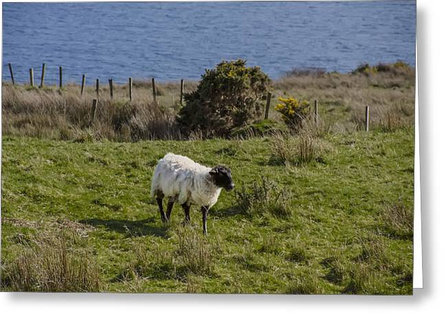 Grazing By The Sea Greeting Card by Bill Cannon