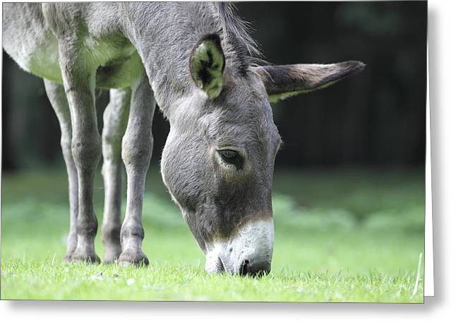 Grazing Donkey  Greeting Card