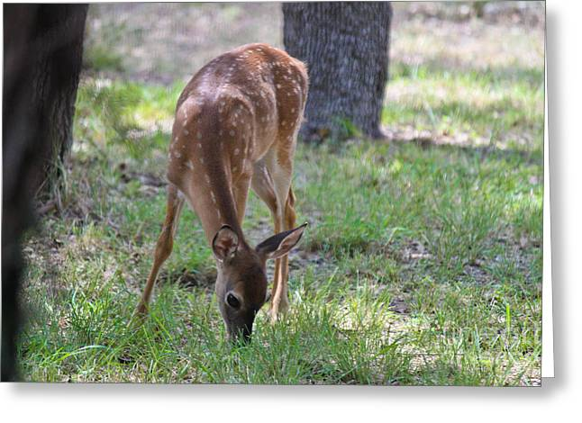 Grazing Fawn Greeting Card