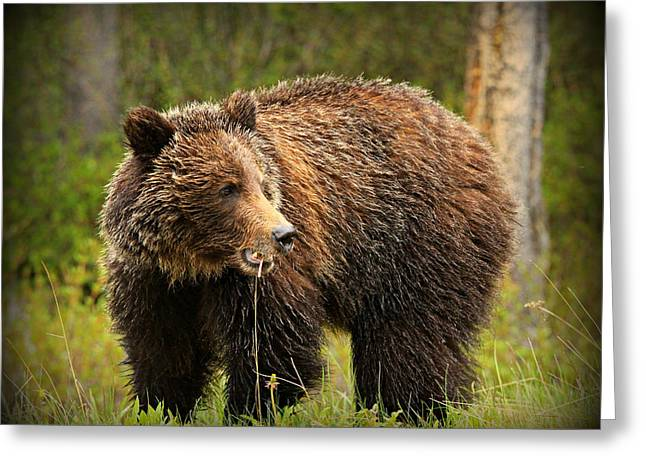 Grazing Grizzly Greeting Card by Stephen Stookey