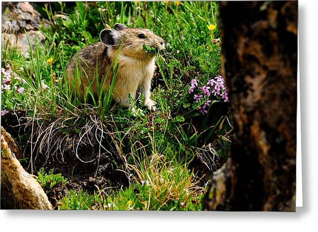 Grazing Pika Greeting Card