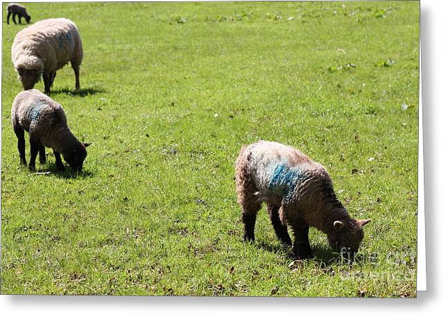 Grazing Greeting Card by Vicki Spindler