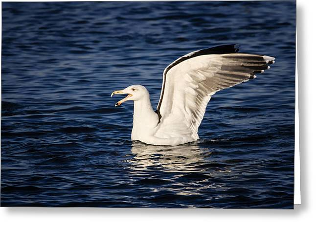 Great Black-backed Gull Greeting Card