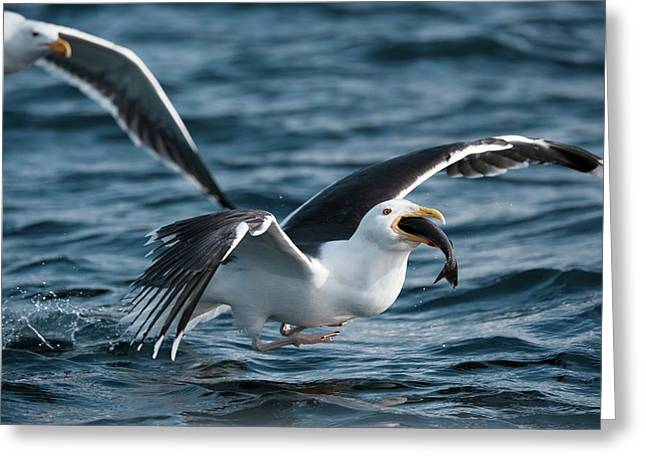 Great Black-backed Gull With A Fish Greeting Card