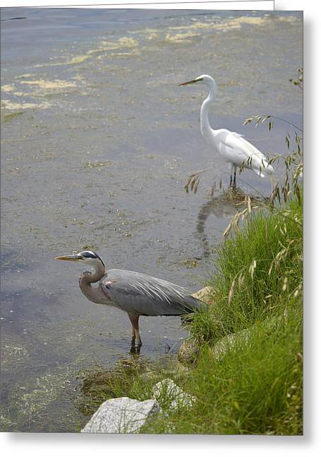 Great Blue And White Egrets Greeting Card by Judith Morris