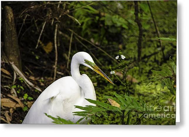 Great Blue Heron - White Greeting Card