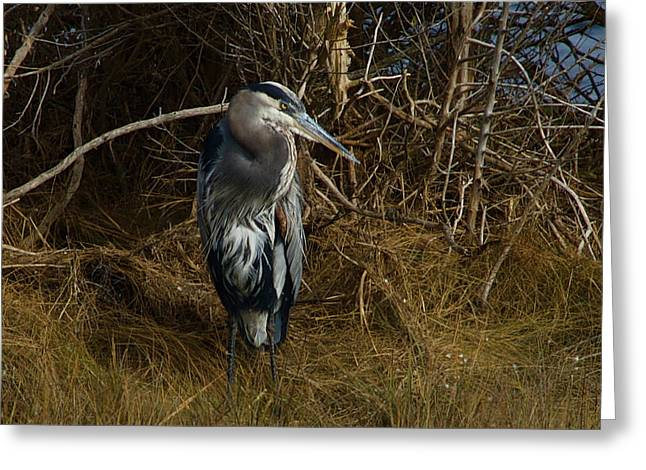 Great Blue Heron 2 Greeting Card