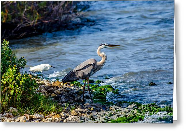 Great Blue Heron And Snowy Egret At Dinner Time Greeting Card