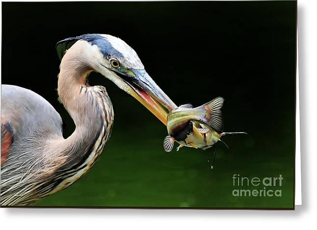Great Blue Heron And The Catfish Greeting Card by Kathy Baccari