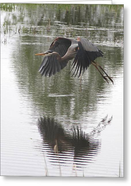Great Blue Heron  Greeting Card by Angie Vogel