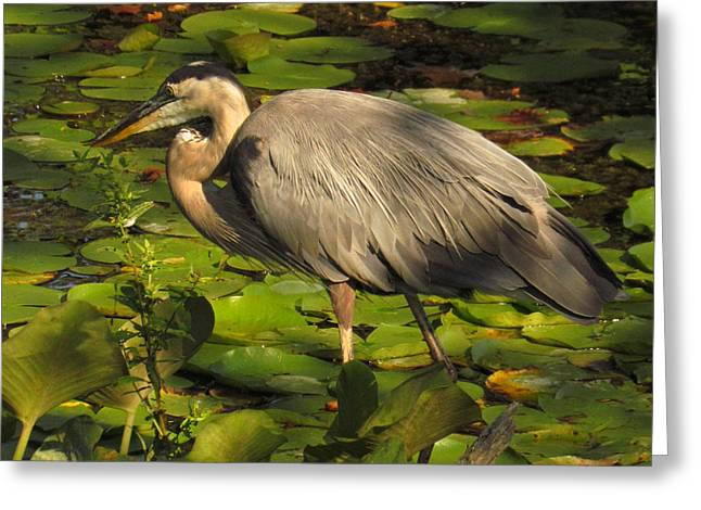 Great Blue Heron  Greeting Card by Ann Bridges