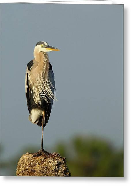 Great Blue Heron, Ardea Herodias, Viera Greeting Card