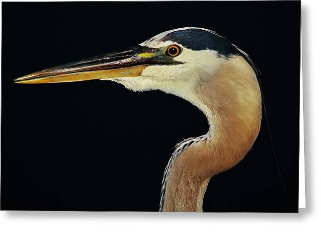 Great Blue Heron At Night Greeting Card by Paulette Thomas