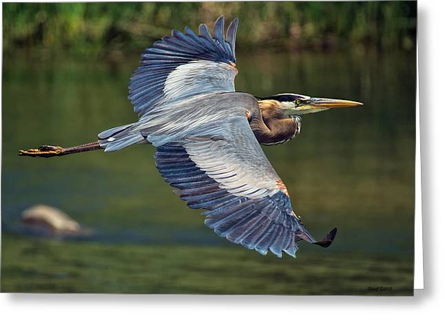 Great Blue Heron At The South Platte River Greeting Card by Stephen  Johnson