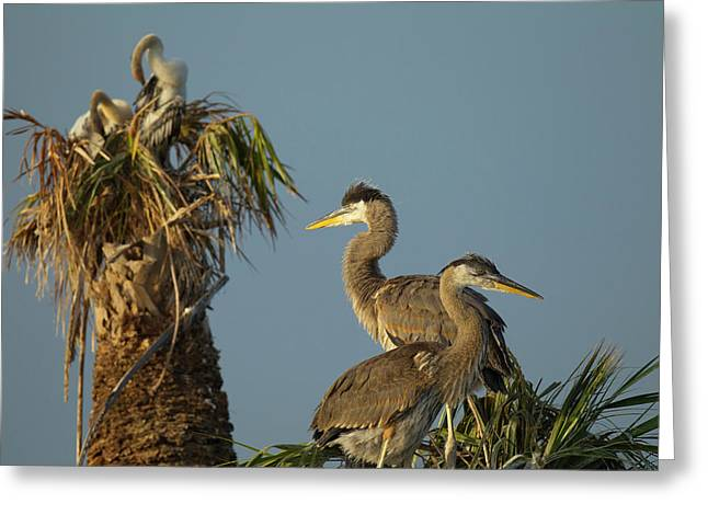 Great Blue Heron Chick In Nest, Ardea Greeting Card
