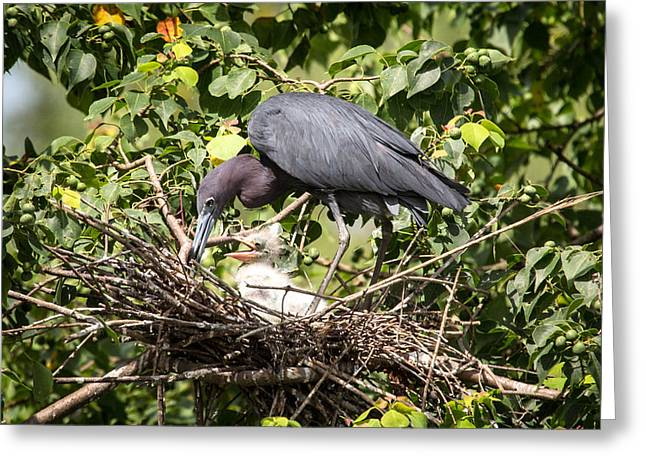 Great Blue Heron Chicks In Nest Greeting Card
