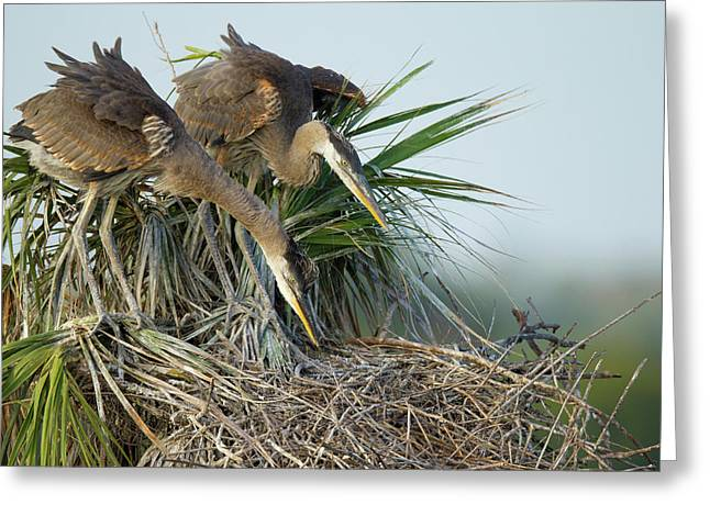 Great Blue Heron Chicks In Nest Looking Greeting Card