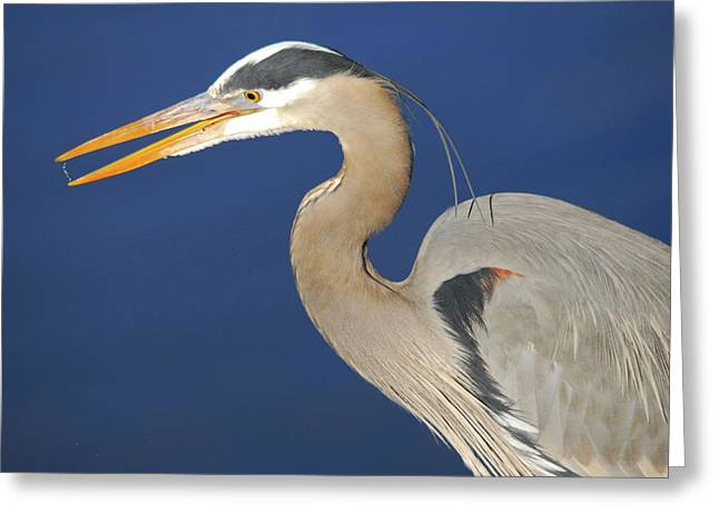 Great Blue Heron, Commonwealth Lake Greeting Card by Michel Hersen