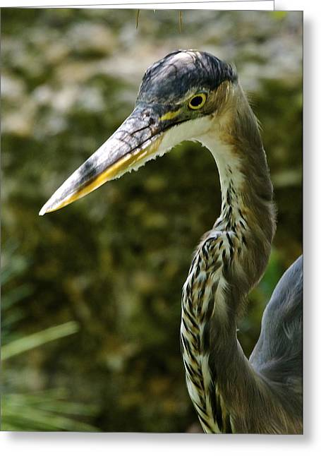 Great Blue Heron Greeting Card by Dee Dee  Whittle