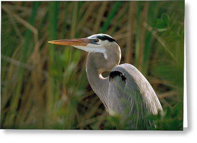 Greeting Card featuring the photograph Great Blue Heron by Doug Herr