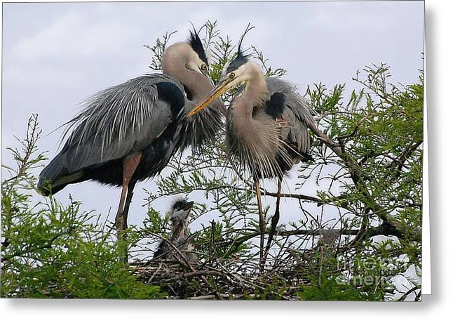 Great Blue Heron Family Greeting Card by Kathy Baccari