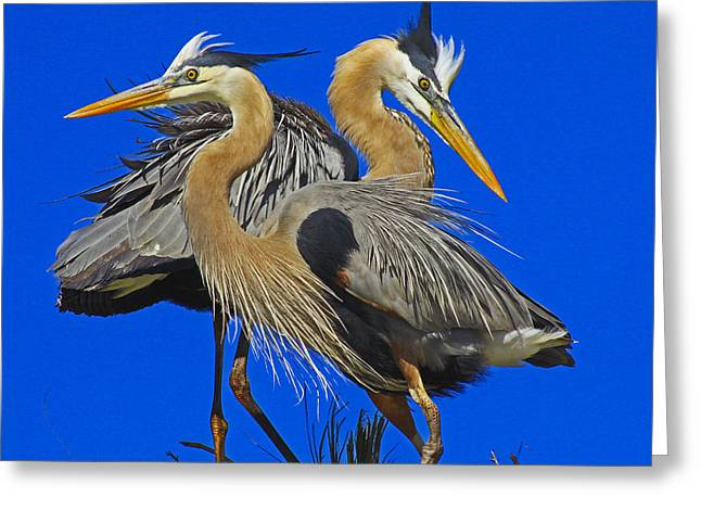 Great Blue Heron Family Greeting Card