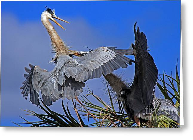 Greeting Card featuring the photograph Great Blue Heron Fight  by Larry Nieland