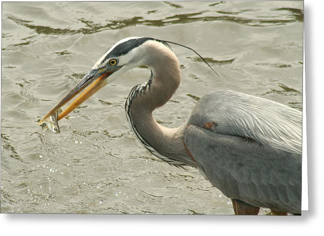 Greeting Card featuring the photograph Great Blue Heron Fishing by Bob and Jan Shriner