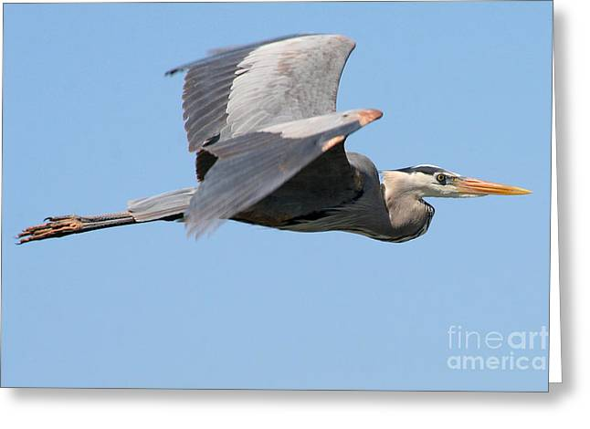 Greeting Card featuring the photograph Great Blue Heron Flying by Bob and Jan Shriner