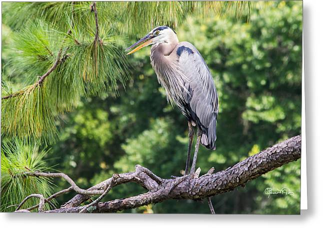 Great Blue Heron I Greeting Card