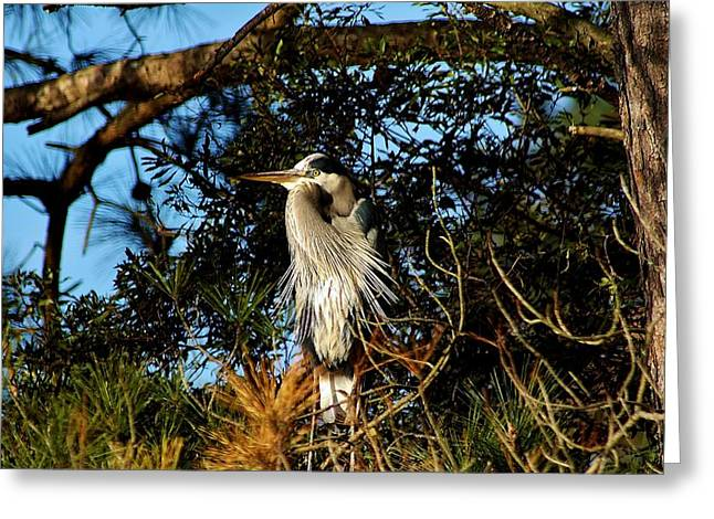 Great Blue Heron In A Tree - # 23 Greeting Card by Paulette Thomas