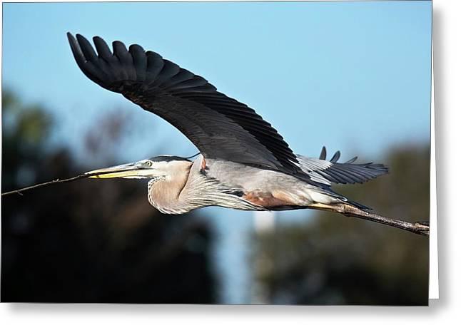 Great Blue Heron In Flight Greeting Card