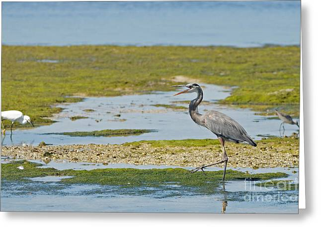 Great Blue Heron In Florida Greeting Card