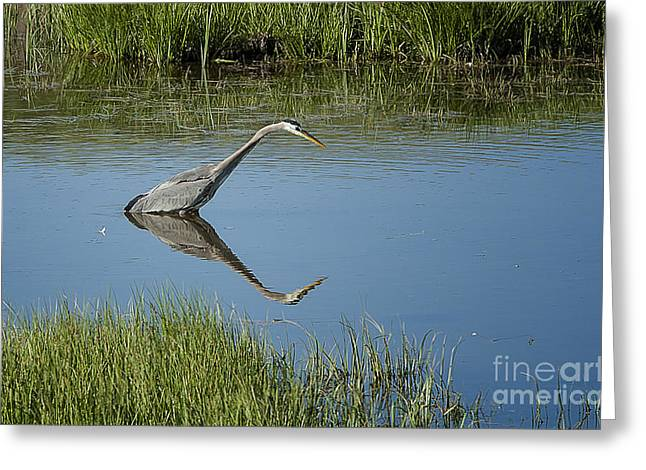 Great Blue Heron In Hayden Valley Greeting Card by Bob Dowling