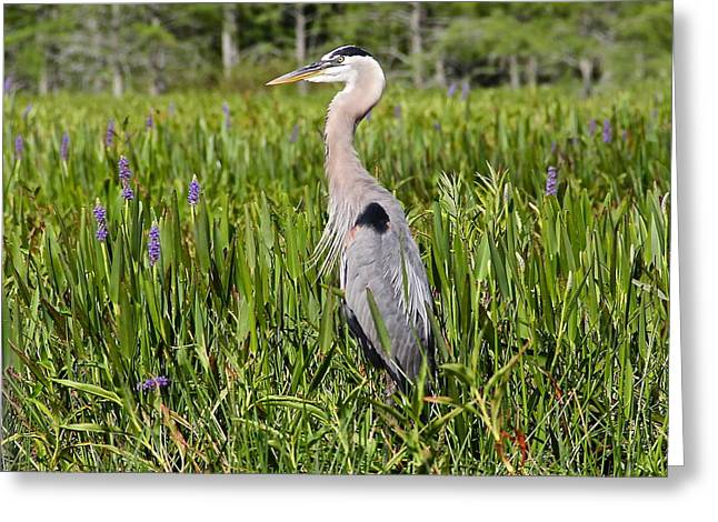 Great Blue Heron In Pickerel Plants Greeting Card
