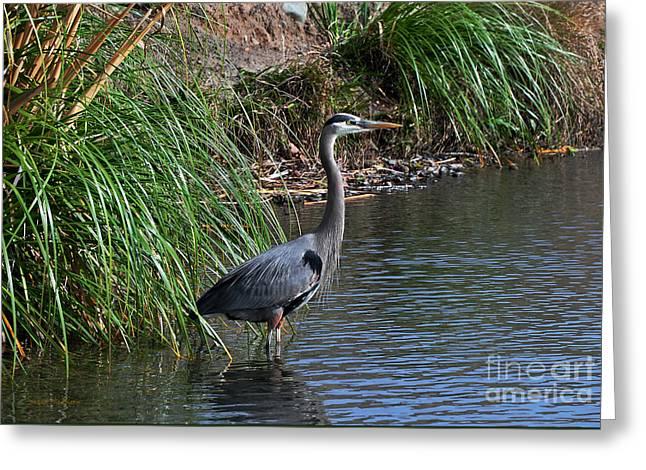 Great Blue Heron In Profile Greeting Card