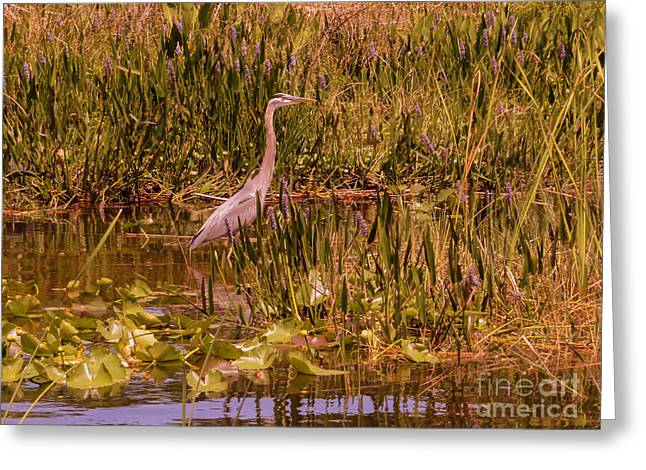 Great Blue Heron In The Swamp Greeting Card
