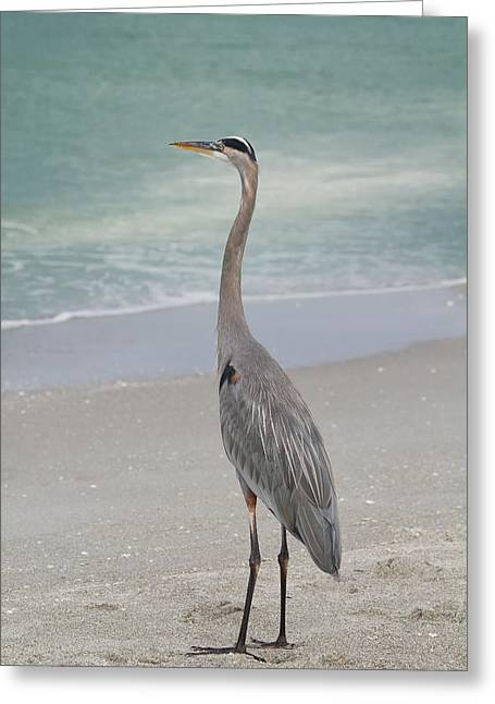 Great Blue Heron Greeting Card by Kim Hojnacki