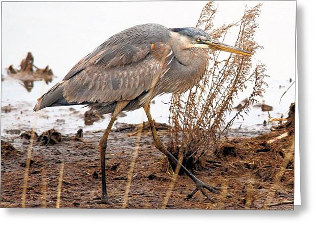 Great Blue Heron Greeting Card by Linda  Barone