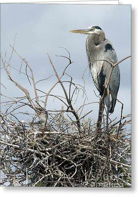 Great Blue Heron Nest With New Chicks Greeting Card by Jane Axman