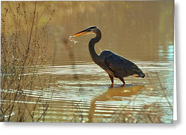 Great Blue Heron Pond Catch - C3197p Greeting Card