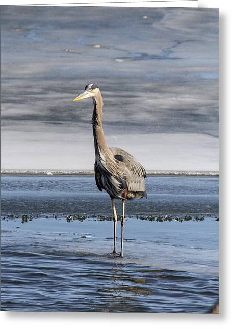 Great Blue Heron Portrait Greeting Card by Jill Bell