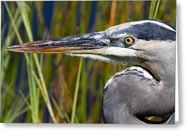 Great Blue Heron Portrait Greeting Card by Mr Bennett Kent